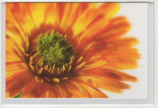 Orange Ringelblume