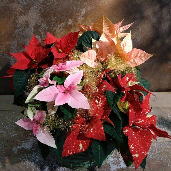 Weihnachtssterne dekoriert
