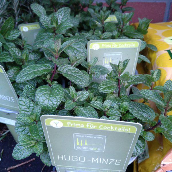 Hugo-Minze